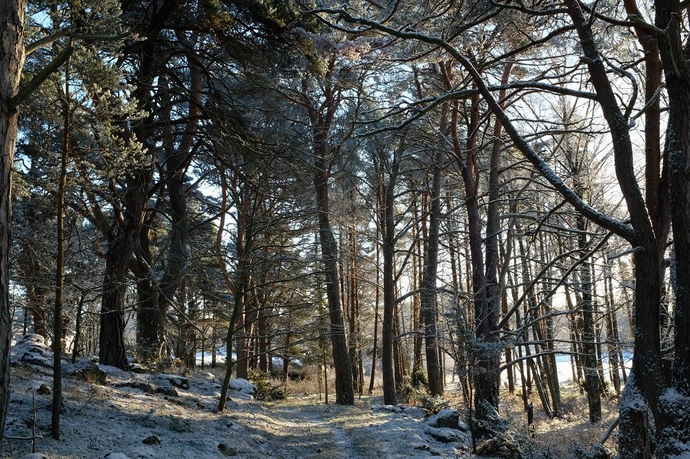 En skogsdunge med tallskog och ett tunt lager snö